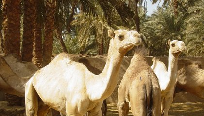 Camels Have Been Carrying Around a Deadly, Contagious Virus For At Least Twice As Long As Anyone Realized