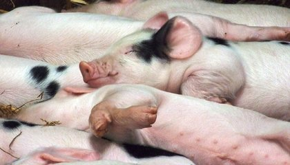 A Virus—Possibly Spread by Pig Feed—Has Killed Millions of Piglets