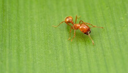 How 16th Century Trade Made Fire Ants an Early Global Invader