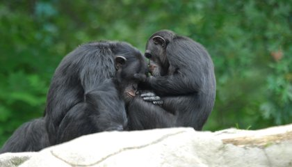 Hanging Out With Friends Makes Chimps Less Stressed