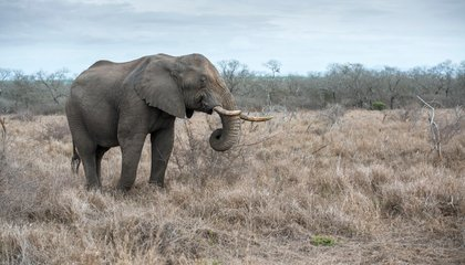Drought May Force 18 Elephants Out of Africa
