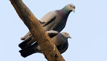 Pigeons' Brains Work Kind of Like Ours