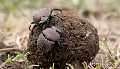 What Dung Beetles Can Teach Us About Sexual Difference