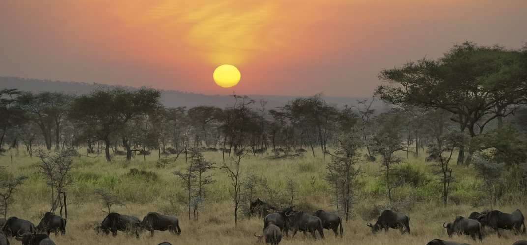 Wildebeest on the Serengeti at sunset