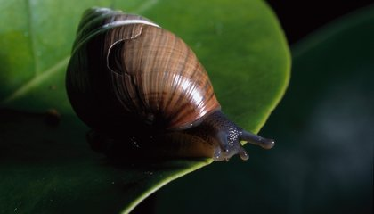 How Endangered Snails Are Endangering Hawaiian Public Radio