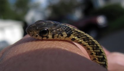 A Deadly Fungus is Eating the Scales off Snakes in the Eastern U.S.