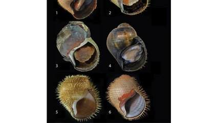 New Deep-Sea Snails Are Nature's Own Punk Rockers