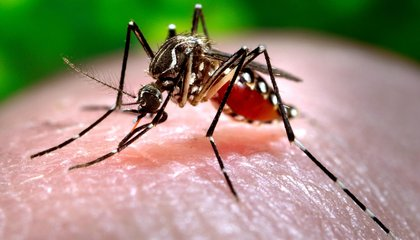 Florida Officials Will Release Genetically Modified Mosquitoes to Fight Zika