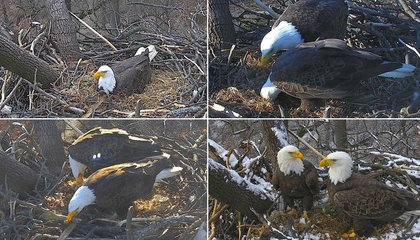 The Country's Most Famous Bald Eagle Pair Just Laid Another Egg