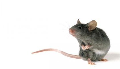 Male Mice Sing Sexy Songs to Woo Females