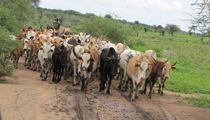 Africans' Ability To Digest Milk Co-Evolved With Livestock Domestication