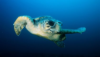 Earth's Magnetic Field Draws Sea Turtles to Their Nests