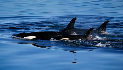 What Will It Take to End International Killer Whale Capture?