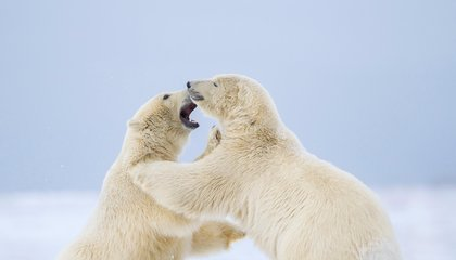 Pollutants Are Making Polar Bears' Penis Bones More Likely to Break