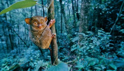 Borneo's Mammals Face a Deadly Mix of Logging and Climate Change