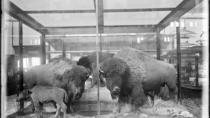 The history of bison at the Smithsonian goes back to the 1880s when William Temple Hornaday mounted a display at the National Museum.