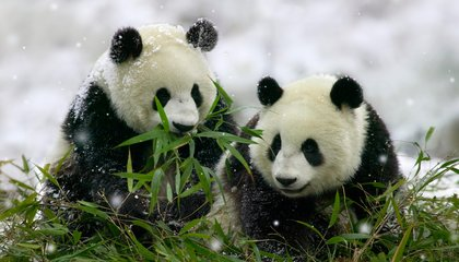 Pandas Actually Hang Out Together