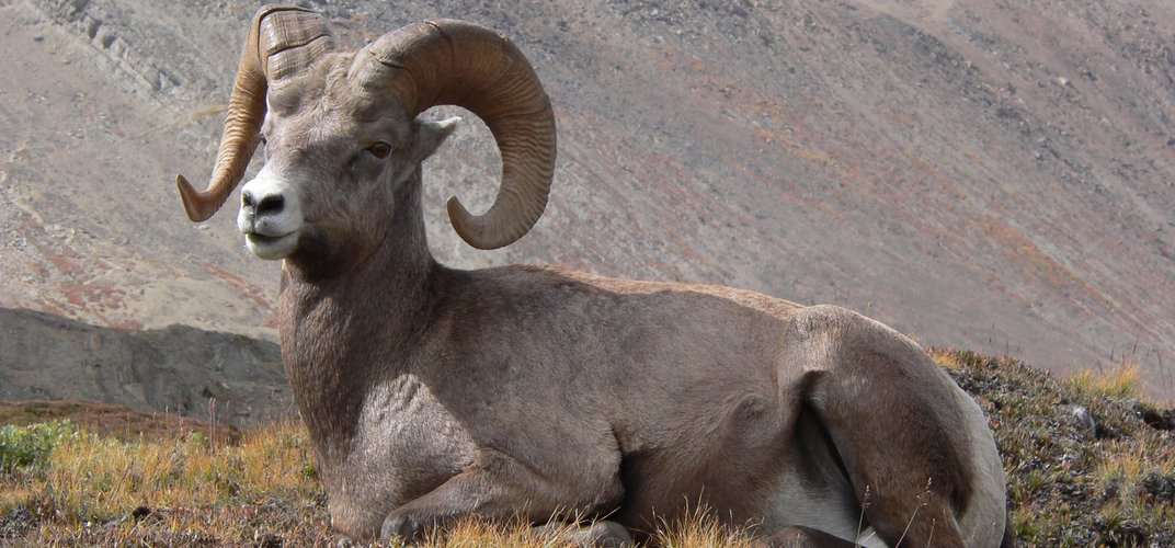 Bighorn Sheep, as seen along Icefields Parkway