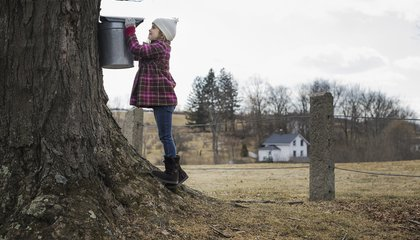 Maple Syrup Farmers Can Now Vacuum Sap Out of Trees