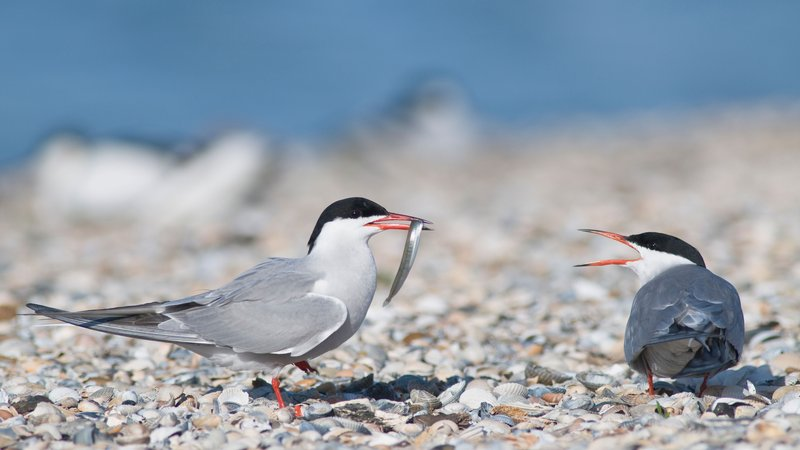 Common terns are known for their loyalty. Ornithologists want to know why.