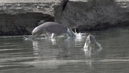 Why Freshwater Dolphins Are Some of the World's Most Endangered Mammals