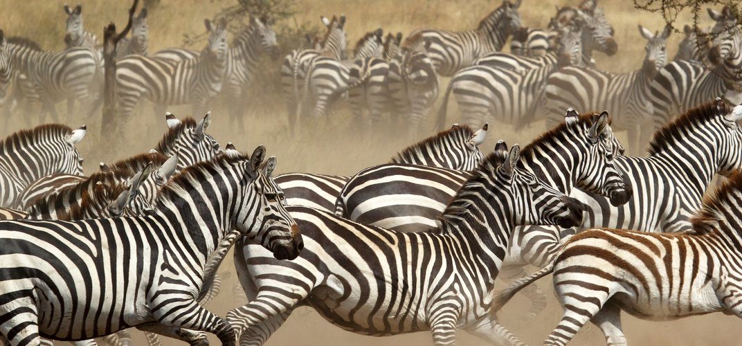 Zebras on the Great Migration