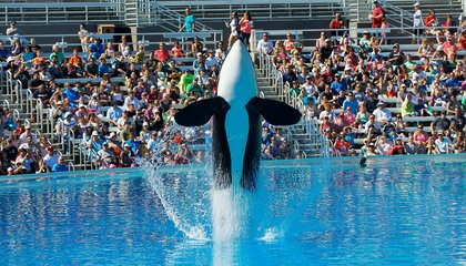 SeaWorld Is Shutting Down Its Orca Breeding Program