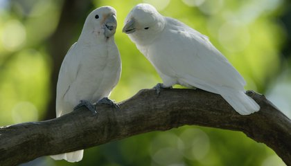 Cockatoos Learn to Use Tools by Watching Each Other
