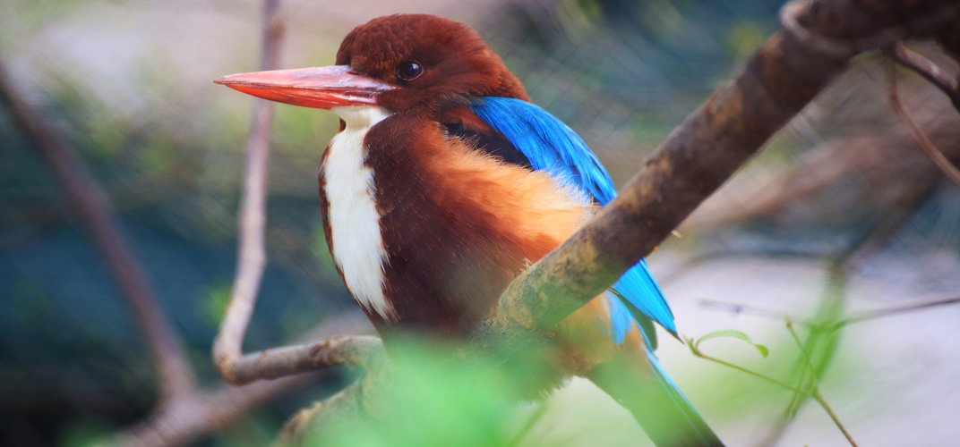 White Throated Kingfisher, Keoladeo Ghana National Park