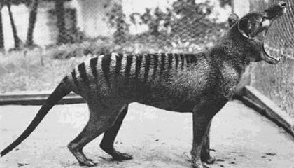 Remembering the Tasmanian Tiger, 80 Years After It Became Extinct
