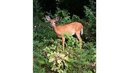 One in Four U.S. Deer Is Infected With Malaria