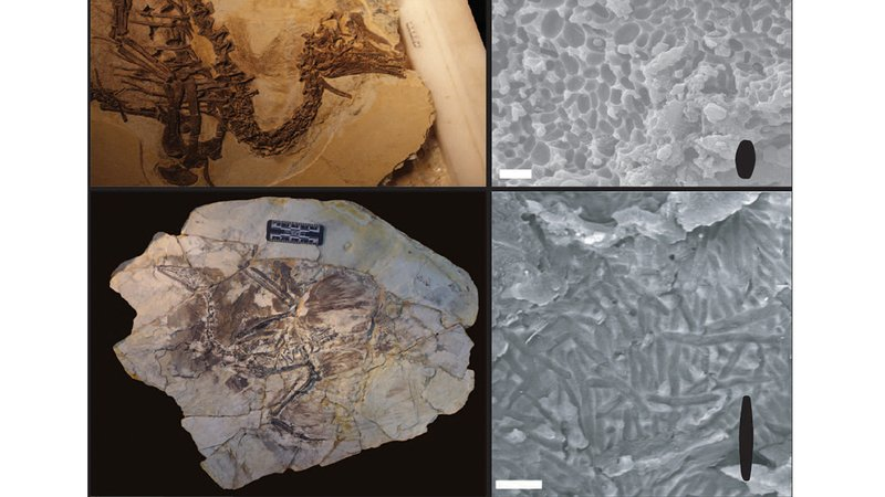 Melanosomes from a fossilized fuzz-covered dinosaur called <em>Beipiaosaurus</em> don't show a lot of shape variety, while a fossilized bird shows skinny melanosomes associated with grey colors seen in living mammals and birds.