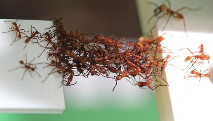 Army Ants Act Like Algorithms to Make Deliveries More Efficient