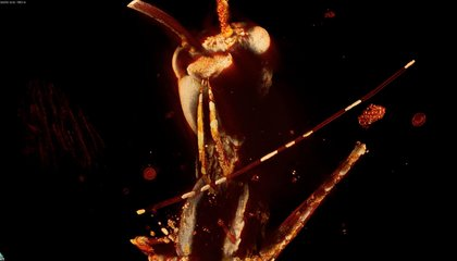 These Tiny Saber-Toothed Terrors Are Among the World's Oldest Ants