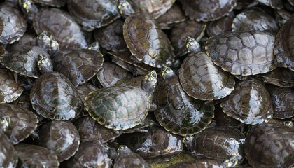 India Once Released 25,000 Flesh-Eating Turtles Into the Ganges