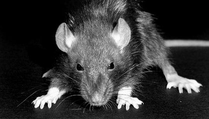 rats with bubonic plague in madagascar