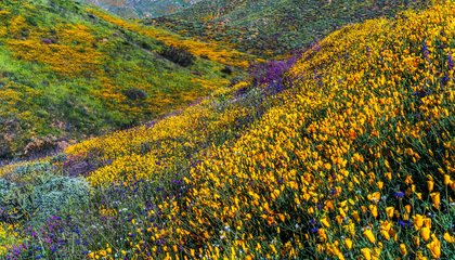 California's Lush Super Bloom Is Even More Stunning From Space