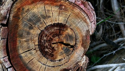 Tree Rings Help Circle in on Dating Pre-History Events
