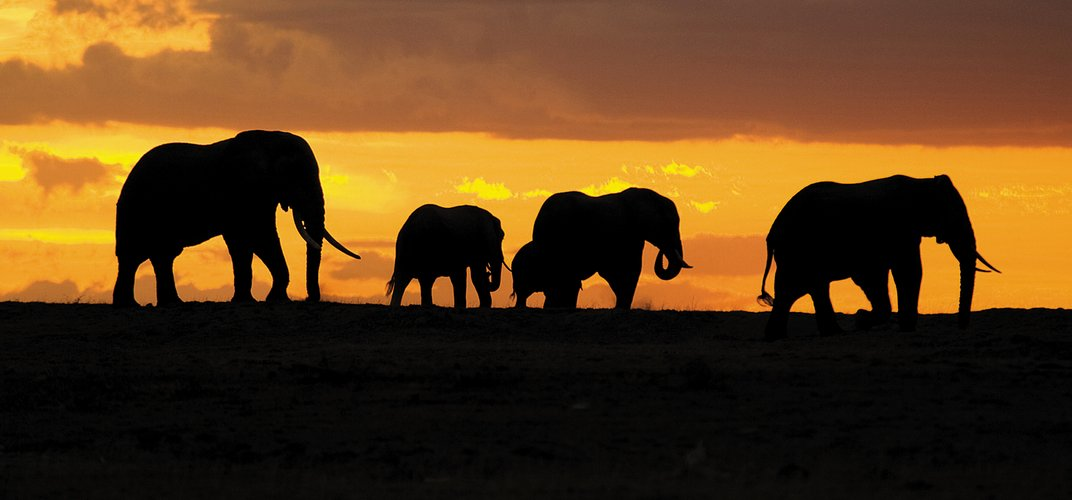 Elephants silhouetted against a sunset. Credit: Charles Robertson