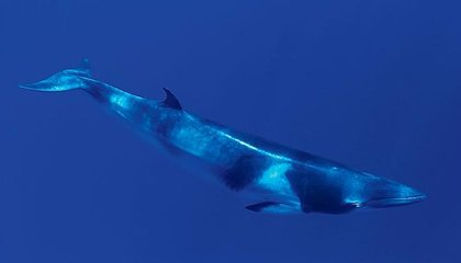 Unidentified Complex Sound From Earth's Deepest Trench May Be New Whale Call