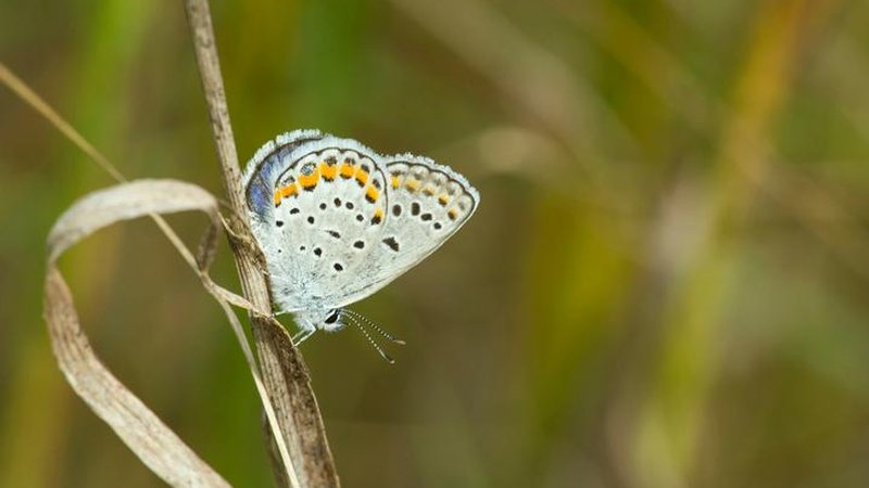 Karner blue butterflies may soon be regionally extinct at Indiana Dunes National Lakeshore.