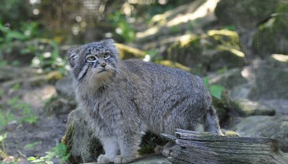 New Sanctuary for Rare and Fluffy Wildcats to Open in Siberia