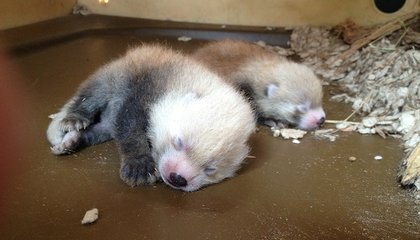 Squeee! Red Panda Cubs Born at Smithsonian Conservation Biology Institute