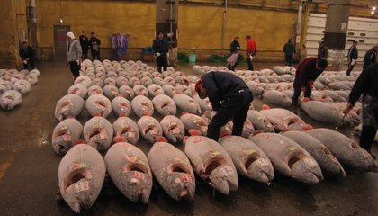 Japan Plans to Halve the Number of Young Bluefin Tuna It Catches