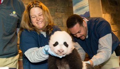 What Giant Pandas Taught Me About Parenting