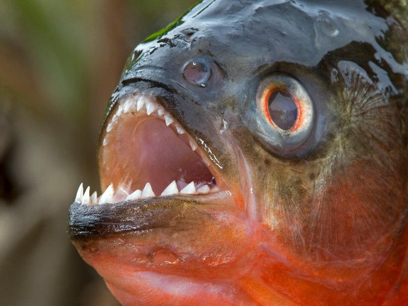 A piranha was just found in an arkansas lake smart news for Arkansas game and fish forecast
