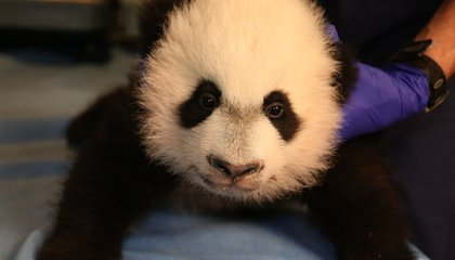 The Long, Adorable History of Pandas in America