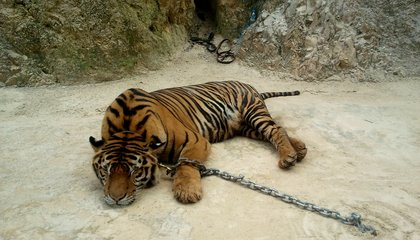 """Thailand's Controversial """"Temple Tigers"""" Are Finally Free"""