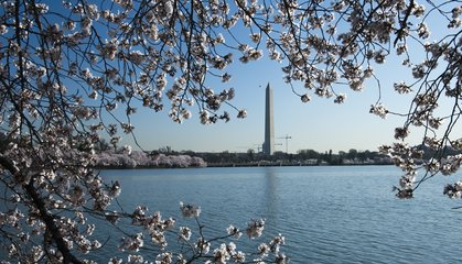 Photos: Cherry Blossoms Bloom in Washington, D.C.