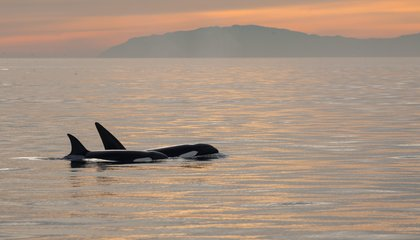 Orca Moms Might Go Into Menopause Because of Their Daughters